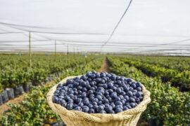 Cultivos Convencionales vs. Cultivos Organicos